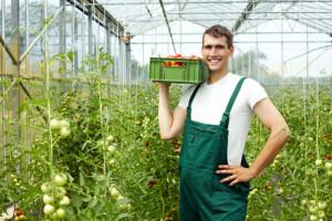 Landwirt erntet Tomaten